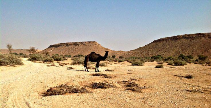 Random camel in the middle of the desert.