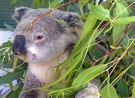 Cohunu Koala park Perth WA.