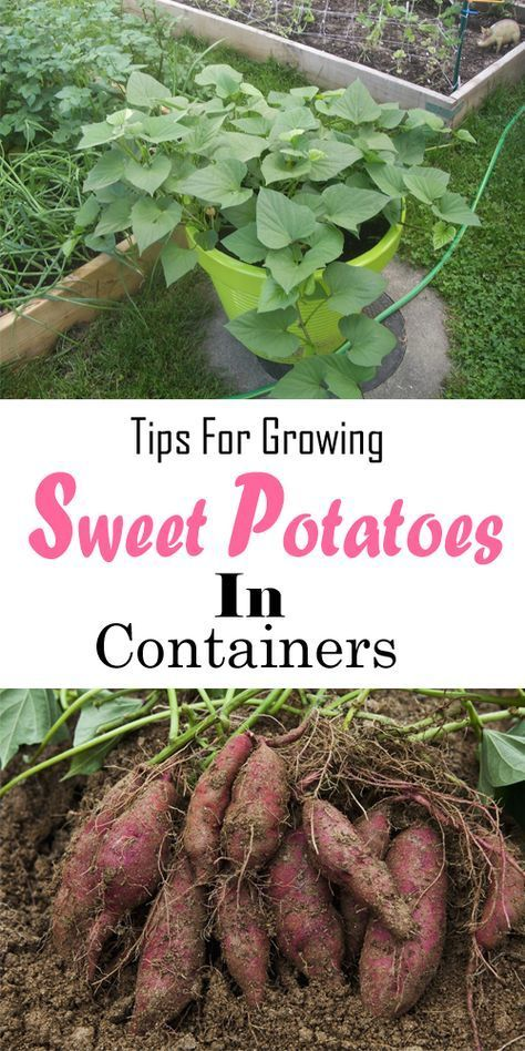 Tips For Growing Sweet Potatoes In Containers