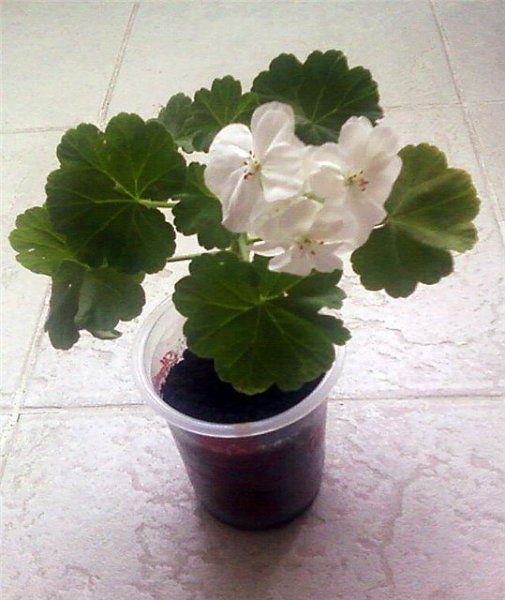 Секреты обильного цветения герани, февраль