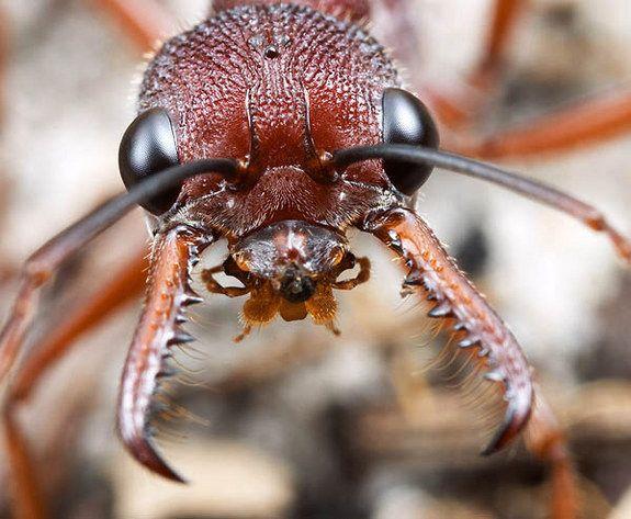 La morsure de la fourmi bouledogue (Myrmecia) peut provoquer un choc anaphylactique chez les personnes allergiques. La réaction non traitée peut être mortelle. Ces fourmis sont munies de grands yeux et de longues mandibules grêles, ont une excellente vision capable de repérer et de suivre un intrus. De plus, ce genre possède des ouvrières capables de s'accoupler et de se reproduire (gamergates) ce qui permet la survie de la colonie après la perte de la reine.
