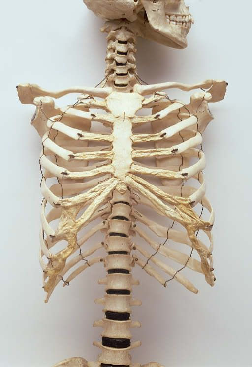 A Typical Human Rib Cage Consists Of 24 Ribs  The Sternum