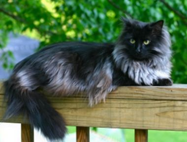 Maine Coon cat:   This cat breed has a semi-longhair coat that is water-resistant and heavy. The coat is longer on the stomach, britches and ruff and shorter on the back and neck. A long, bushy tail is one of the distinctive traits of the Maine Coon.