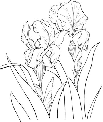 Click to see printable version of Garden German Iris or Iris Germanica coloring page
