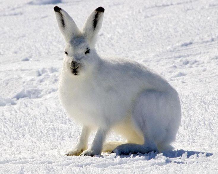 25+ best ideas about Arctic tundra animals on Pinterest | Wild ...