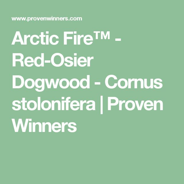 Arctic Fire™ - Red-Osier Dogwood - Cornus stolonifera | Proven Winners