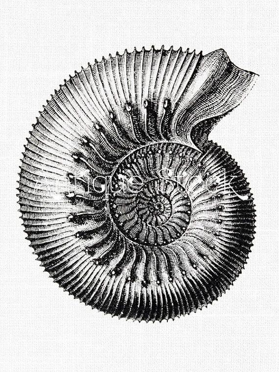 Ammonite Old image Fossil  Vintage illustration by AntiqueStock
