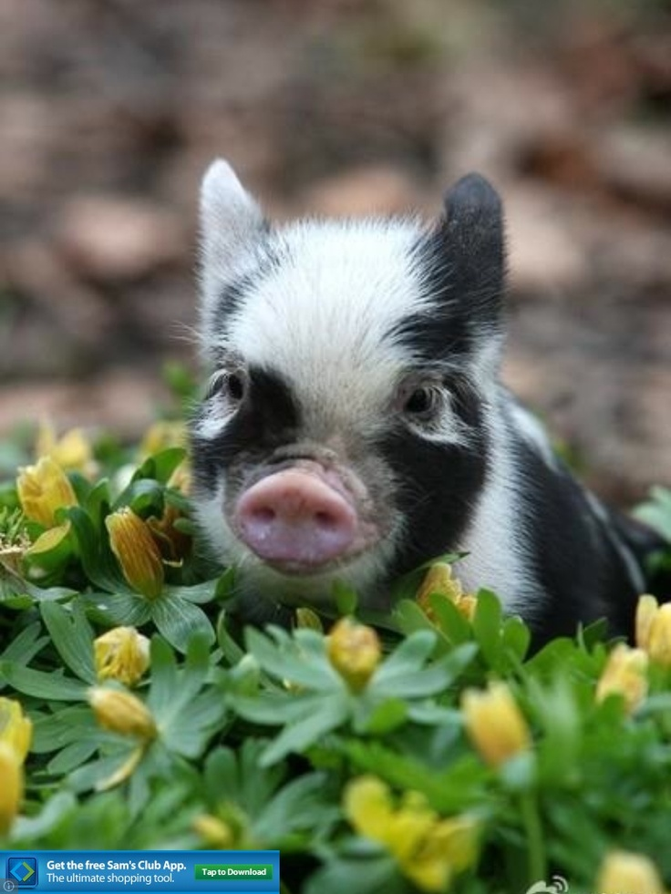 Pigs so cute
