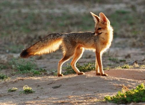 10 Best Cape Fox Images On Pinterest