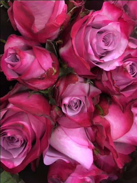 Rose 'Deep Purple'...tones of pink through to a purply shade...Sold in bunches of 10 stems from the Flowermonger the wholesale floral home delivery service.