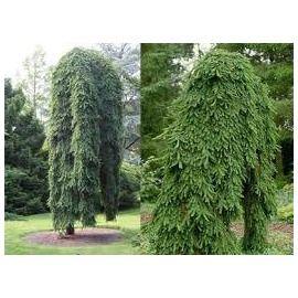 Smrek obyčajný Inversa 100/110 cm, kopaný Picea abies Inversa