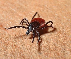 Ticks can carry diseases that will make our dogs very sick. Do you know which ticks live in you area and the symptoms of tick-borne diseases in dogs?
