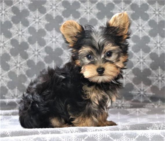 Roscoe Yorkshire Terrier Puppy 592655 Puppyspot Yorkshire Terrier Puppies Yorkshire Terrier Dog Terrier Puppies