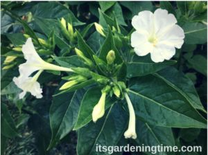 Summer Parade of Gorgeous Flowers! All #summer long we have gorgeous #flowers blooming! The #summerparade starts with #lilies #fouroclocks #gladiolus #roses #zinnia #zinnias #rose #fouroclock #vinca #vincas #impatiens #verbena #salvia blackeyedsusans #blackeyedsusan #butterflybush #butterflushrub #canna #cannas #goldenyarrow #milkweedshrub #milkweedbush To see pics & videos visit ... #garden #gardens #gardening #gardener #gardeningtips #gardeningtipsforbeginners #beginnergardening