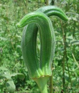 Tips on growing okra  : #gardening #okra #tips