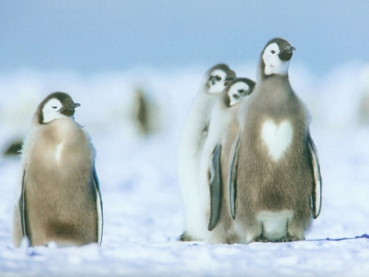 High Resolution Animals Desktop Wallpaper Of Penguin With Hearts Happed Moulting ID