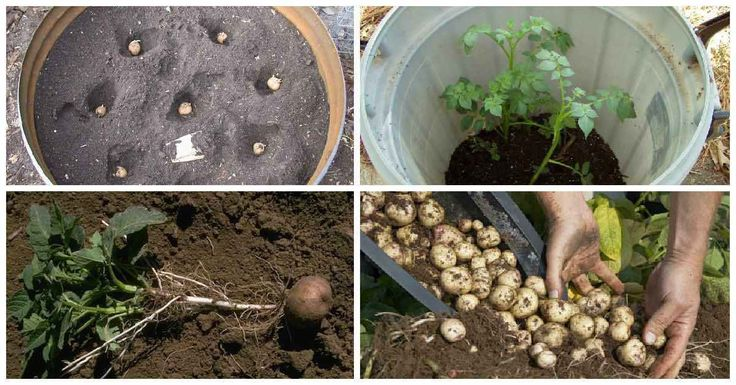 Como cultivar 45 kg de patatas en un barril