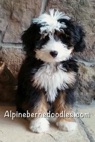 Alpine Bernedoodles is owned by two veterinary technicians. We strive to bring you the healthiest Bernedoodle puppies possible. Our goal is to make sure you're getting a healthy and happy new puppy.