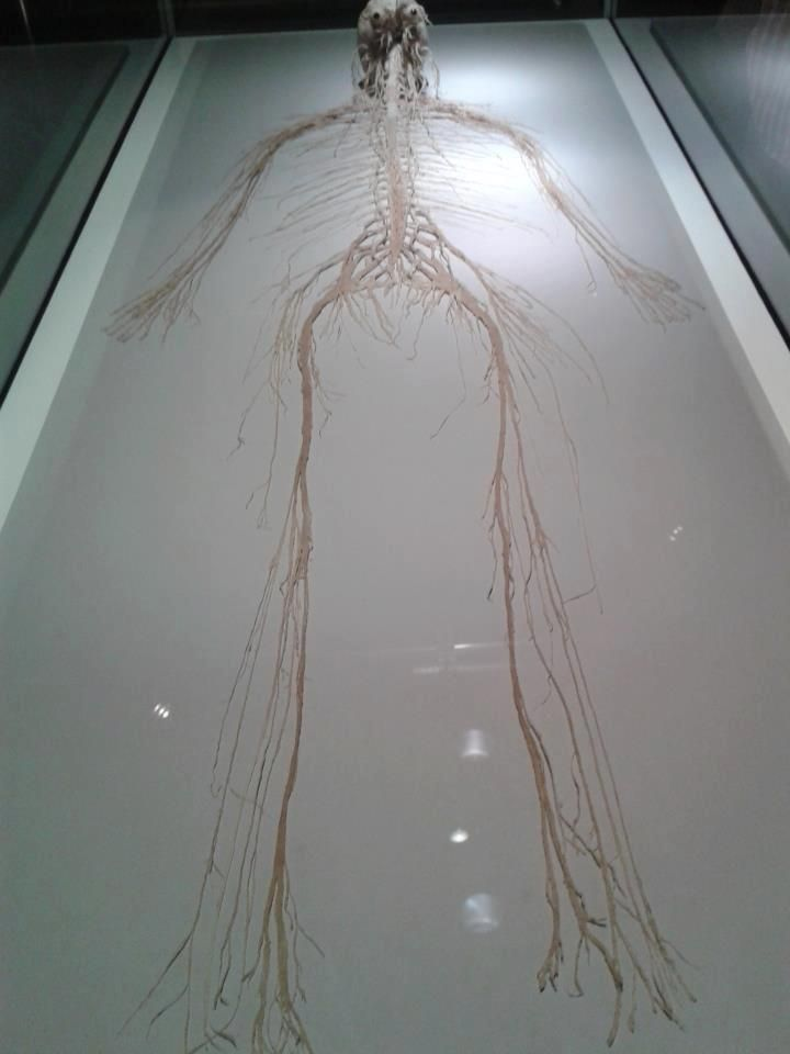 The central and peripheral nervous system of a human being. Deep down, we're all spaghetti monsters.