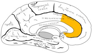 """Anterior cingulate cortex (ACC): the frontal part of the cingulate cortex that resembles a """"collar"""" surrounding the frontal part of the corpus callosum; plays a role in a wide variety of autonomic functions such as regulating blood pressure and heart rate; also involved in rational cognitive functions, such as reward anticipation, decision-making, empathy, impulse control, emotion"""