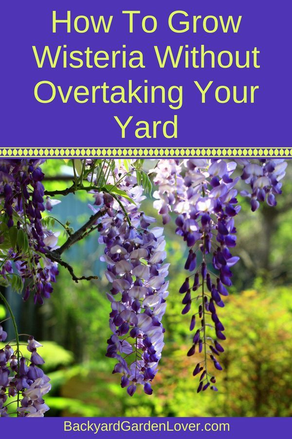 How To Grow Wisteria Without Overtaking Your Yard Wisteria Plant Garden Vines Wisteria Tree