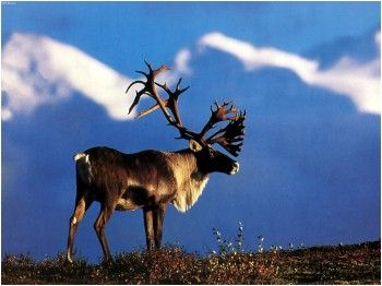 Caribou Hunting Outfitters, Tips, Videos and Information