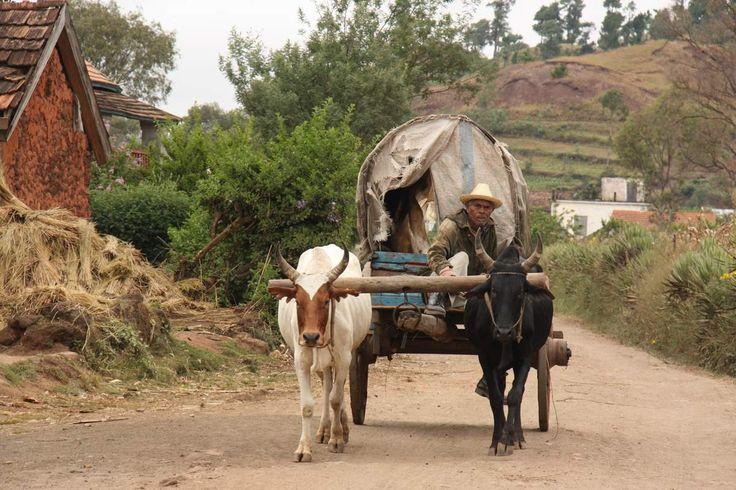 A Madagascar la majorité des charrettes sont tirés par des zébus