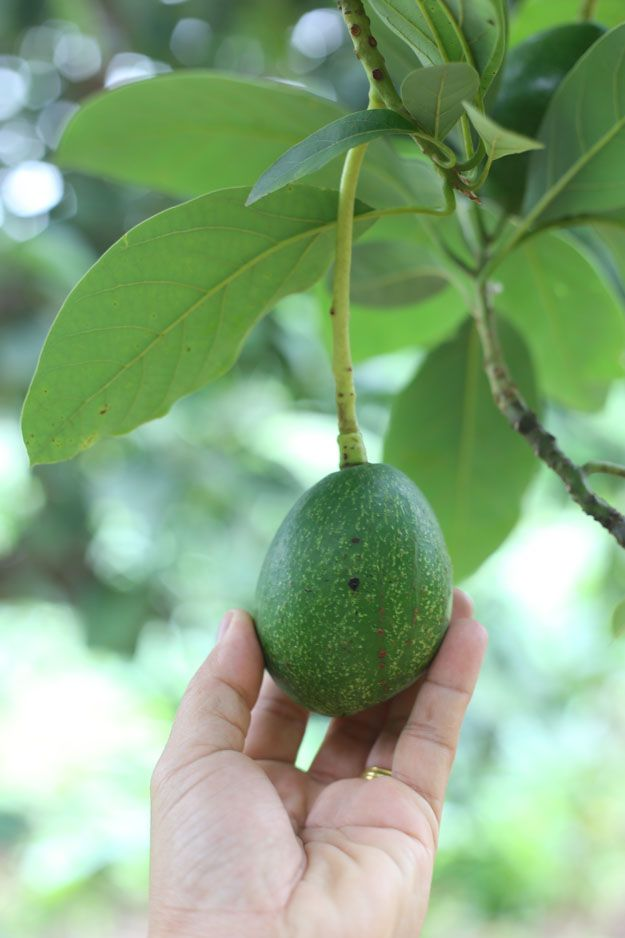 Learn How To Grow An Avocado Tree From Seed. All you need is a pit!