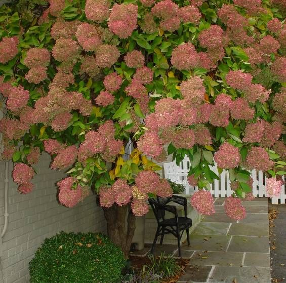 Hydrangea paniculata - PeeGee Hydrangea  I want this for the front yard. Great website on Hydrangea's!!!