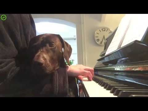 Black Lab falls asleep to lullaby..... awwwww
