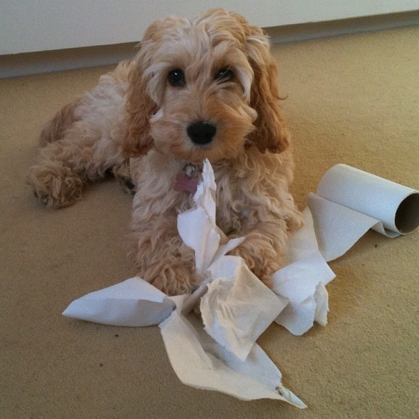 Meet precious Poppy!  Does anyone else have a tissue bandit?