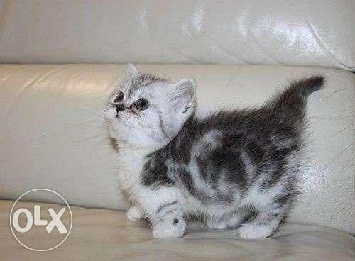 Dwarf Cat!!! <3 - Google image
