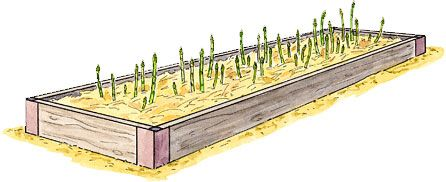 How to Grow Asparagus, Asparagus, Growing Asparagus, Planting Asparagus