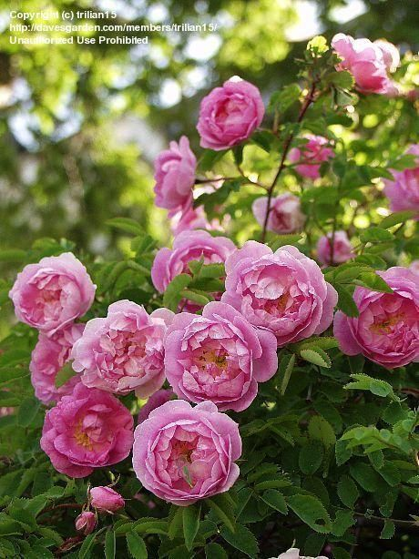 Full size picture of Hybrid Spinosissima Rose 'Poppius' (Rosa spinosissima)