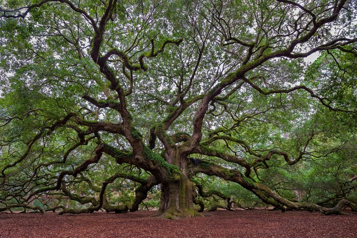 Angel Oak Tree | by dwfphoto: he Angel Oak Tree is a Southern live oak (Quercus virginiana) located in Angel Oak Park on Johns Island near Charleston, South Carolina. The Angel Oak Tree is estimated to be at least 400 and possibly up to 1400 years old. It stands 66.5 ft (20 m) tall, measures 28 ft (8.5 m) in circumference, and produces shade that covers 17,200 square feet (1,600 m2). #VenerableTrees #Angel_Oak