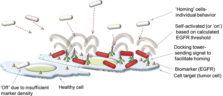 Escherichia coli were engineered to enable programmed motility, sensing and phenotypic response to the density of epidermal growth factor receptor expressed on the surface of cancer cells. (Credit , Hsuan-Chen Wu et al, Molecular Systems biology) Nature Publishing Group