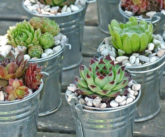 Galvanized Buckets Succulent Wedding Favors Diy Mini Buckets Wedding Favors Rustic Wedding Deco Succulent Pots Diy Succulents Succulent Pots