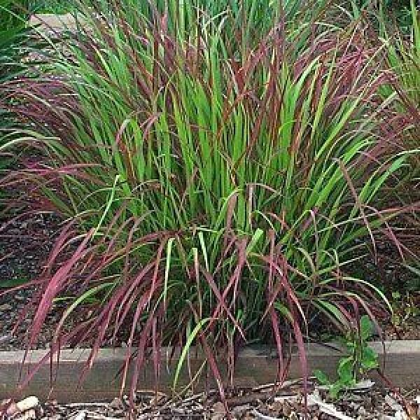 Panicum virgatum Shenandoah - Vingergras