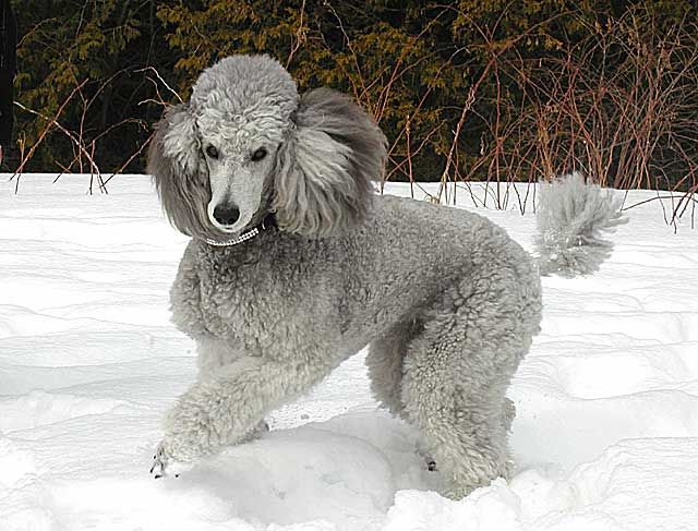 Lovely silver standard poodle!