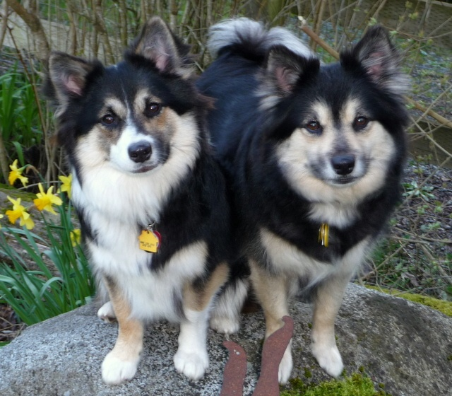 icelandic sheepdog puppies