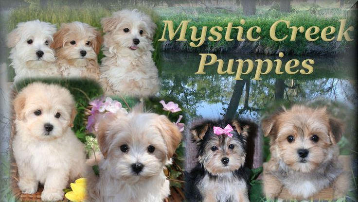 Care and Training of Maltipoo, Yorktese and Morkie puppies