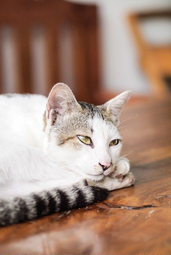 Cats To Adopt Nyc Id 654403747 Why Do Cats Purr Cat Adoption Cats And Kittens