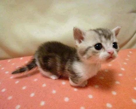 Munchkin cat! Cats with abnormal short legs omg I cute! I need one