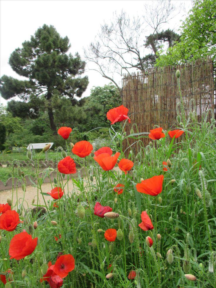Botanic Garden - Poppy Flowers