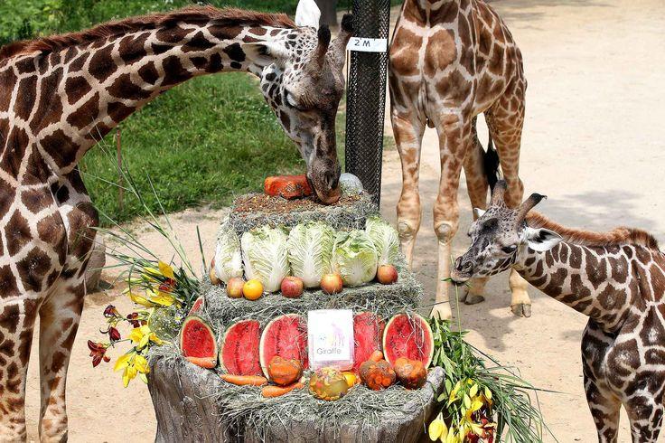 Le 21 juin, c'était la Journée mondiale des giraffes. Celles duEverland Resort zoo d'Yongin ont eu les droit à un repas de circonstance.