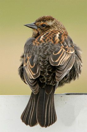 Red-winged Blackbird Adult female
