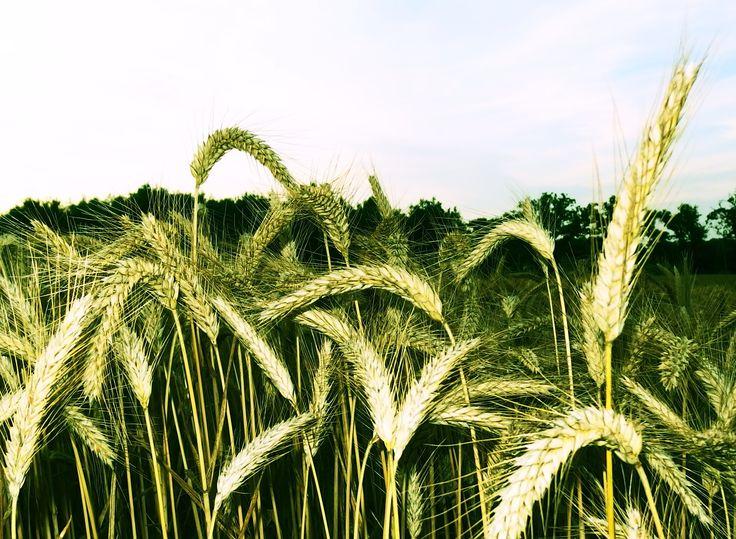 Champ de blé - photo isan