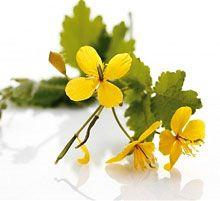 Масло чистотела: состав, полезные свойства. Применение и лечение эфирным маслом чистотела