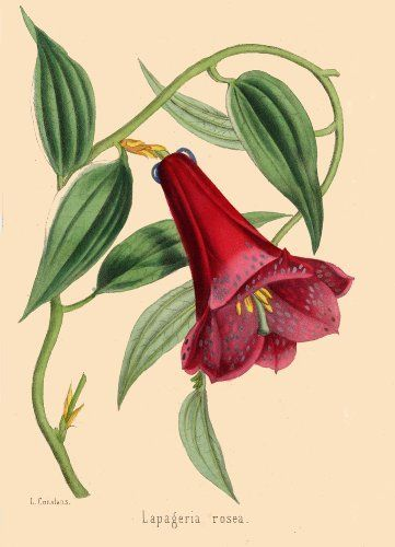 Illustrated Book Plate Illustration from Revue Horticole 1800s - Botanical Print - 05 - CHILEAN BELLFLOWER