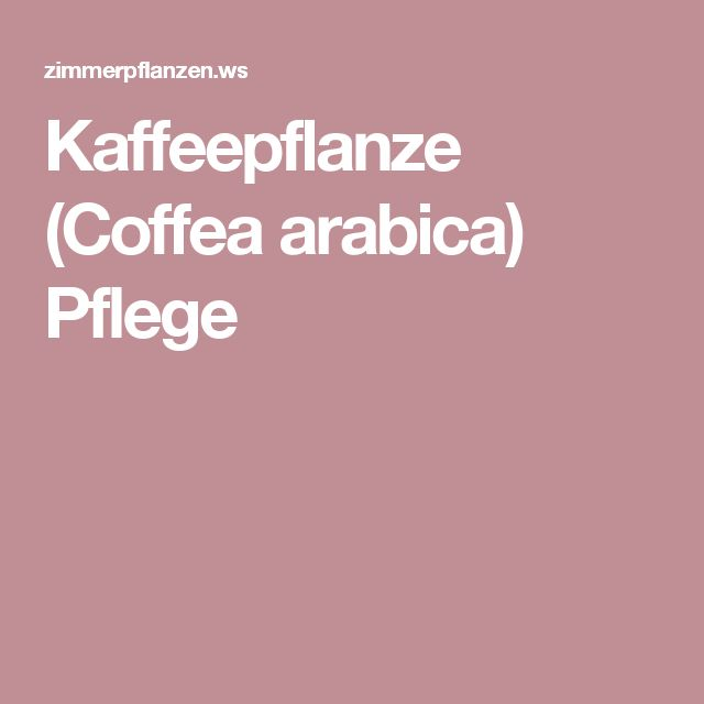 Kaffeepflanze (Coffea arabica) Pflege
